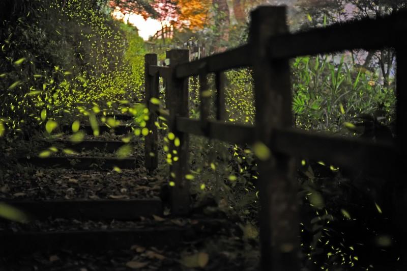 點點螢光遍佈在竹坑溪步道上,非常浪漫。(圖片:嘉義縣政府授權)
