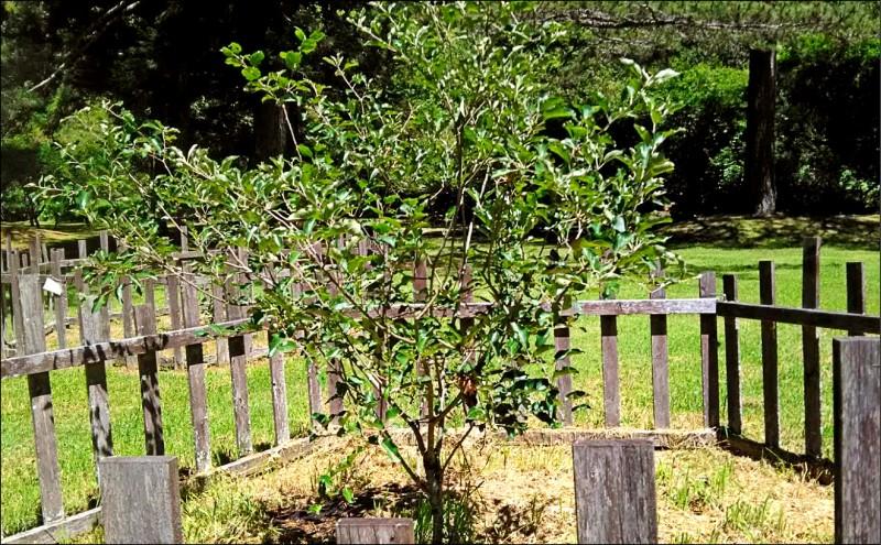 日本本莊東扶輪社十二年前贈給宜蘭東區扶輪社的牛頓蘋果樹,在武陵農場落腳,成台、日兩國民間交流的佳話。(讀者提供)
