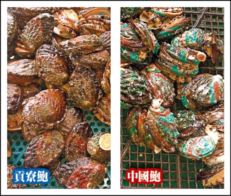 貢寮鮑(左)在東北角沿海潮間帶養殖,嚐起來有嚼勁;中國鮑(右)殼較厚,口感較沒脆度及彈性。 (新北市鮑魚生產合作社理事主席吳勝福提供)