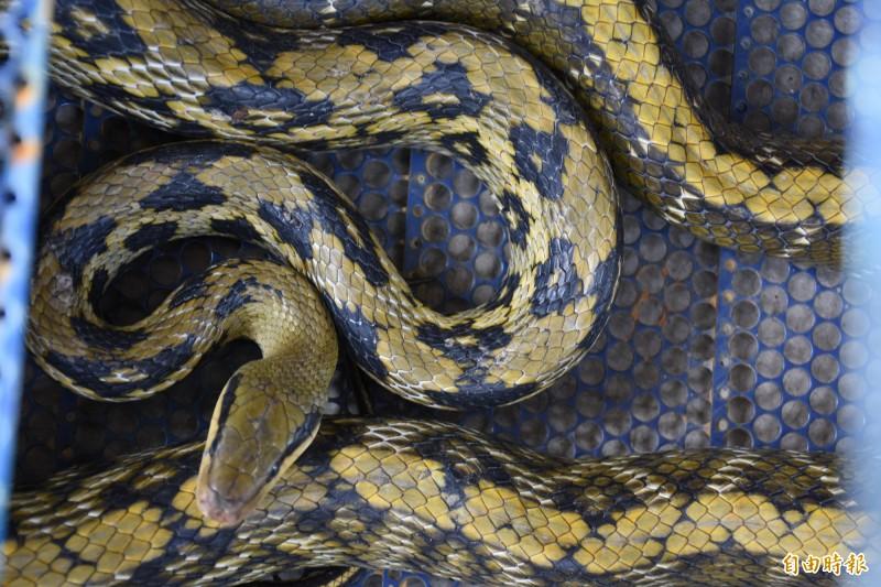 黑眉錦蛇是保育類動物,民眾不要打殺,以免觸法。(記者林國賢攝)