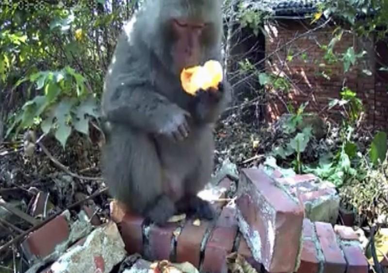 一隻身形龐大的美猴王出現在彰化縣八卦山民宅庭院,大啖屋主為牠準備的美食。(翻攝臉書花壇人俱樂部)