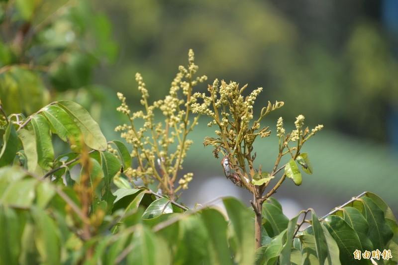 今年氣候暖冬乾旱,加上荔枝椿象蟲害,高雄大崗山龍眼花況奇差無比,目前開花率不到1成。(記者蘇福男攝)