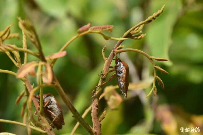 龍眼花穗仍可見荔枝椿象蟲害。(記者蘇福男攝)
