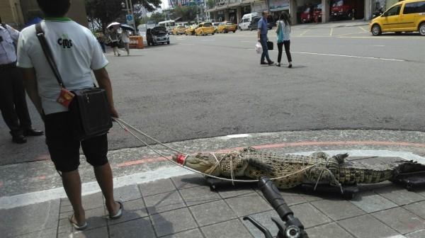 阮茂盛為了抗議動物保護法禁止買賣、繁殖、宰殺保育類鱷魚,去年8月載著一條五花大綁的河口鱷,赴行政院抗議。(資料照,民眾提供)