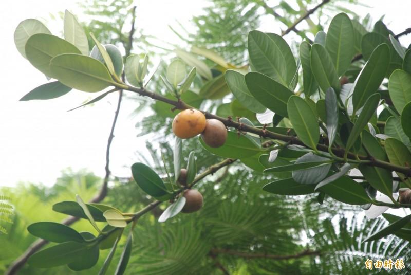 自從有掌葉蘋婆開花的豬屎味,草屯鎮的福木果實臭味退居「第2臭」。(記者陳鳳麗攝)
