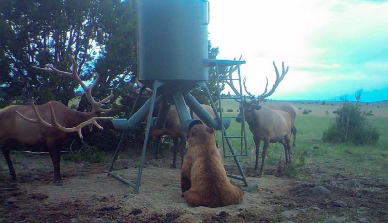 美國農場出現麋鹿「包圍」熊熊的場景,讓不少國外網友大吃一驚。(圖擷自Express UUBar Ranch)