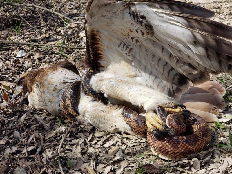 美國德州學生在校外教學時,親眼目睹红尾鵟大戰豹斑蛇。(圖擷自Texas Parks and Wildlife-DFW Urban Wildlife臉書)