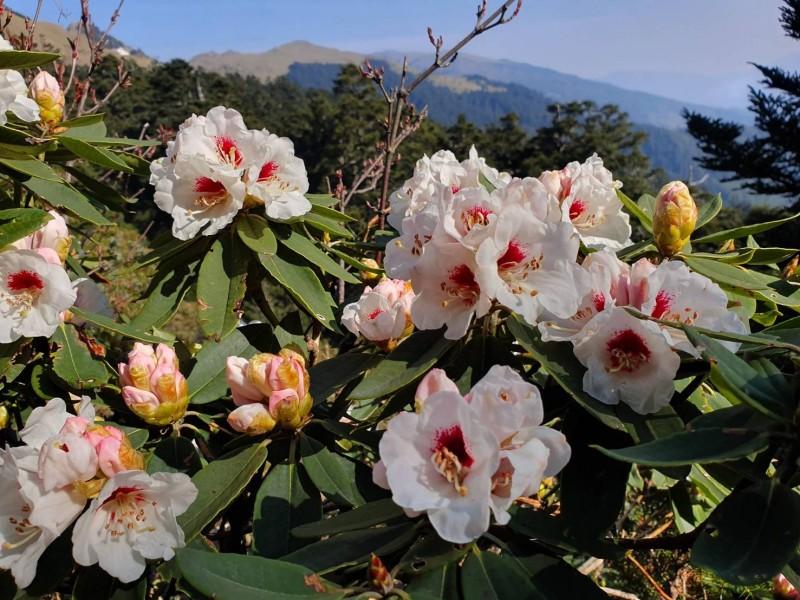 小奇萊、合歡東峰及石門山等步道旁的高山花卉目前已陸續綻放,讓民眾在清明連假多了一處出遊選擇。(太管處提供)