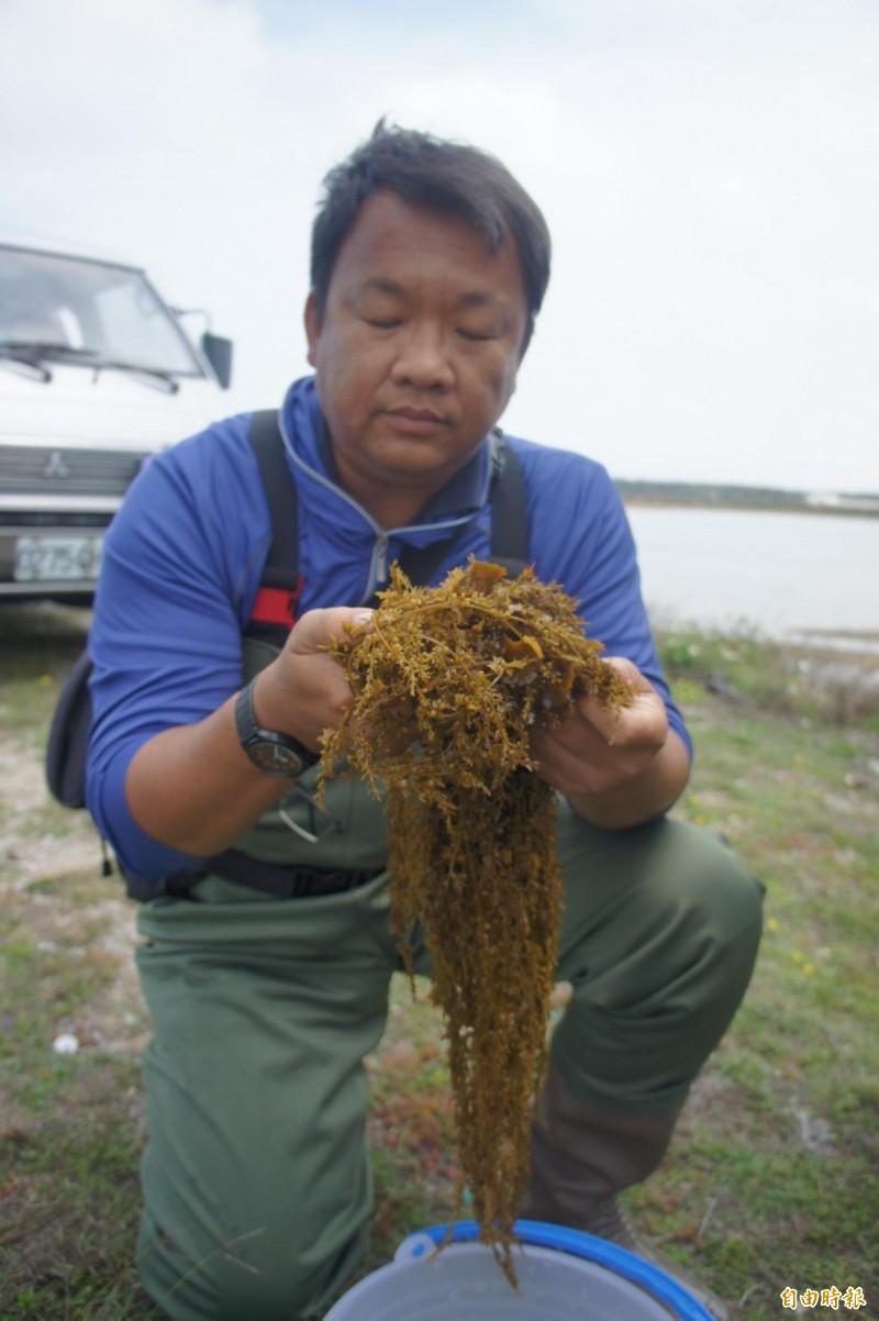 澎湖海洋生物研究中心培育馬尾藻,復育原生棲地環境。(記者劉禹慶攝)