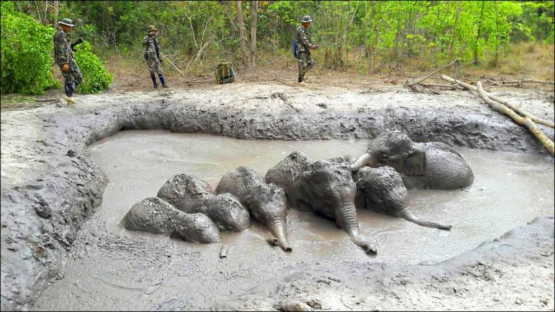 泰國6頭受困泥沼數日的小象。(法新社)