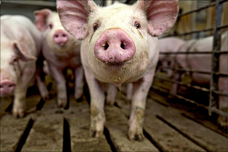 美國貿易代表署報告關切台灣對美牛美豬進口設限的問題,呼籲應根據科學和國際規範制訂瘦肉精規範,並開放進口。圖為愛荷華州一養豬場。(彭博)