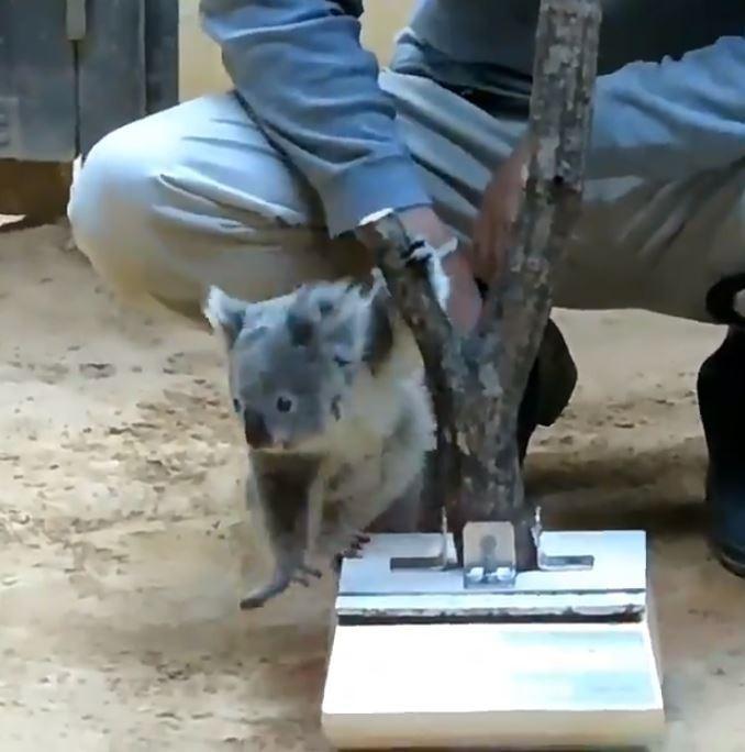 日本東山動物園最近幫園內無尾熊量體重時,雖然費心地在體重計上加裝了1根小樹幹,但無尾熊還是不領情,一被抱上去就無情地跑走,笑翻現場遊客與網友。(圖擷取自推特)