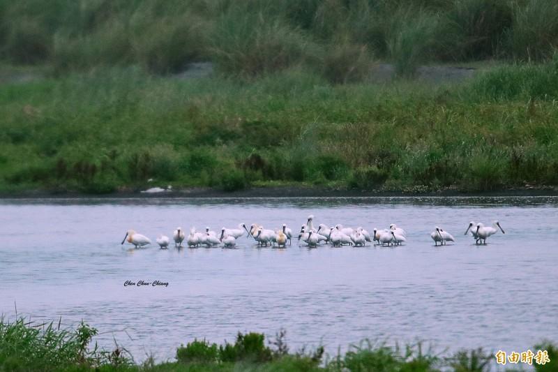 黑面琵鷺換上美麗繁殖羽,準備北返。(圖:陳俊強提供)