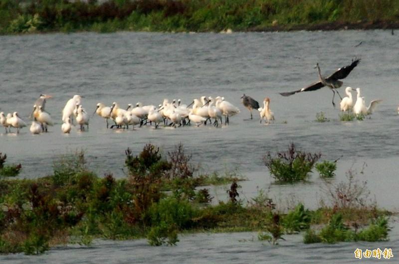 黑面琵鷺換上美麗繁殖羽,準備北返。(圖:周火盛提供)