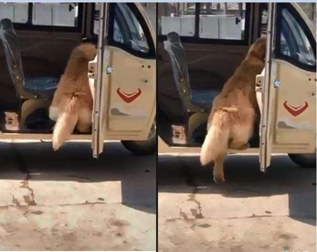 日前有網友在臉書分享一隻短腿黃金獵犬想從車裡跟著主人下車卻踏不到地的影片,逗趣模樣讓不少網友笑翻。(圖擷取自臉書「爆料公社一日小編」)