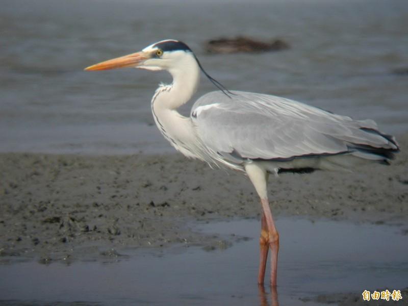 大型的鷺科水鳥─蒼鷺。(記者蔡文居攝)