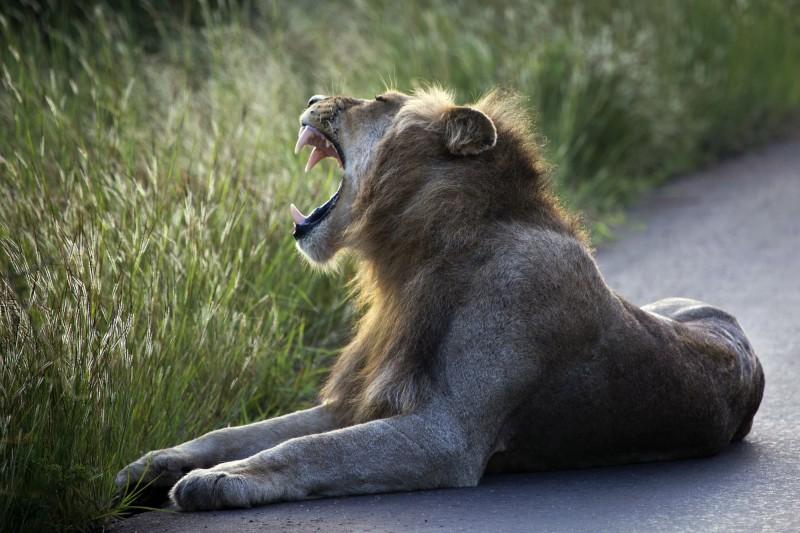 一名盜獵者和同夥上週潛入南非的國家公園獵殺犀牛,卻遭大象踩死,遺體之後被園區的獅子吃了,只找到頭蓋骨和1條褲子。(美聯社)