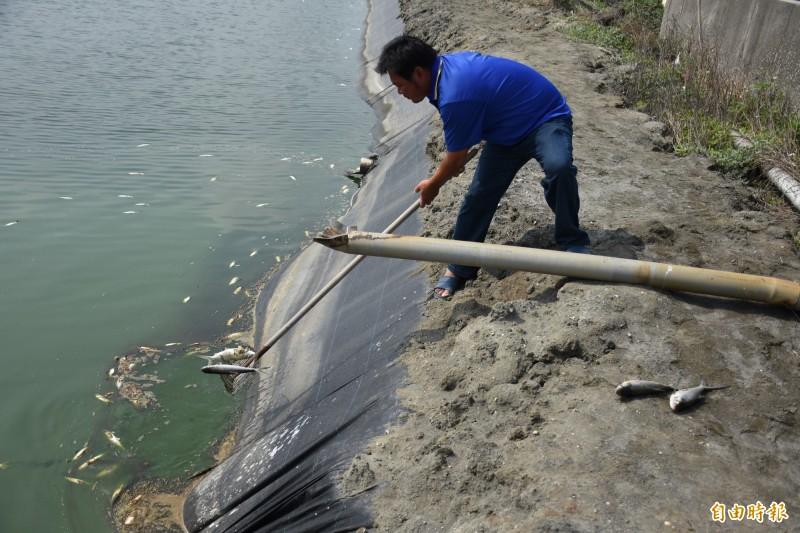 海豐區漁溫出現虱目魚死亡情況。(記者林國賢攝)