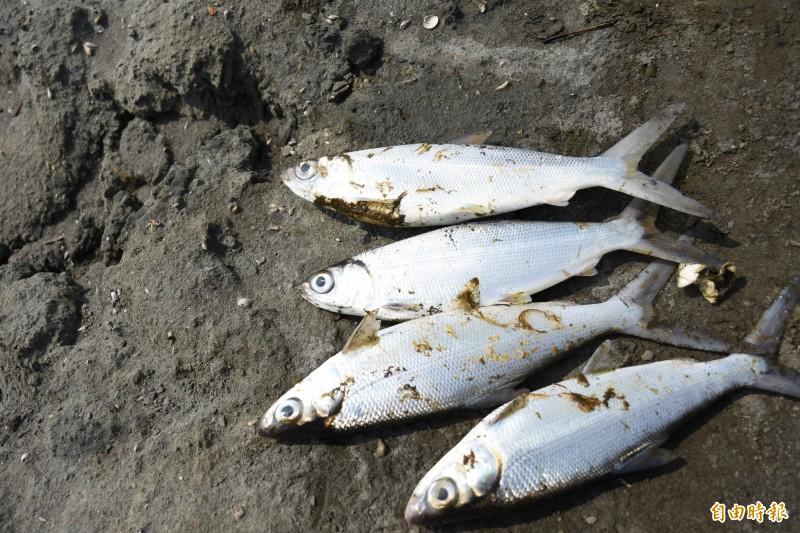魚屍上卡有不明油漬。(記者林國賢攝)
