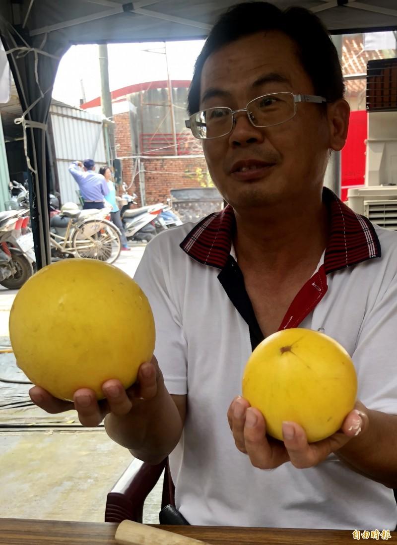 龔泰安秀出經10年選種培育的黃金果,左為大果種,每顆可重達2斤,右為四季種。(記者羅欣貞攝)