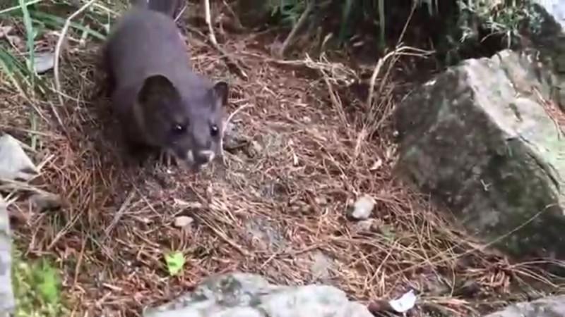 有山友在玉山主峰線發現遭丟棄的紙屑垃圾,甚至吸引黃鼠狼前來覓食。(玉管處提供)