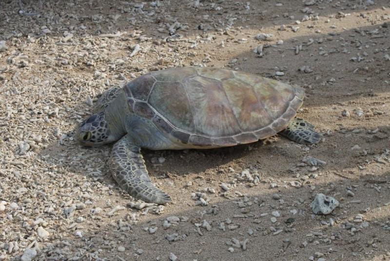 電廠接力海生館救援野放綠蠵龜。(記者蔡宗憲翻攝)
