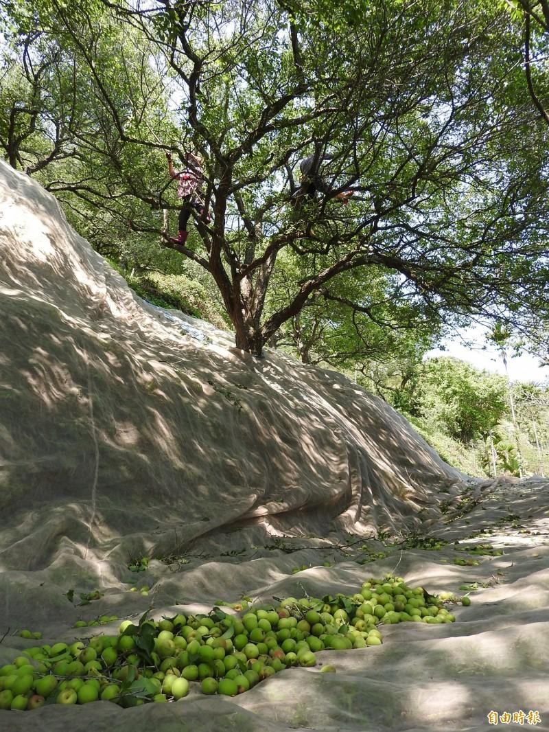 農民感歎青梅豐收時1棵樹可採收300斤,竿採青梅掉落的聲音此起彼落,今年產量僅30至50斤,稀稀疏疏。(記者佟振國攝)