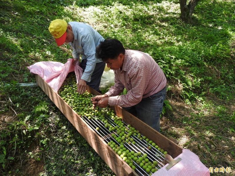 農民竿採青梅之後還得進行篩選,淘汰果粒太小無加工價值的梅子。(記者佟振國攝)