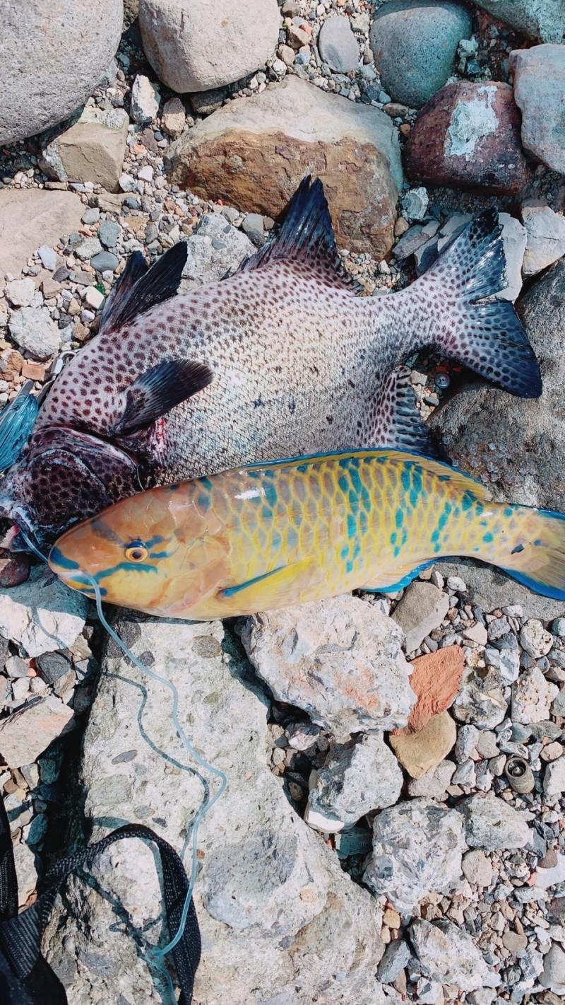 周男持漁槍捕獵石鯛魚及鸚哥魚。(記者吳昇儒翻攝)