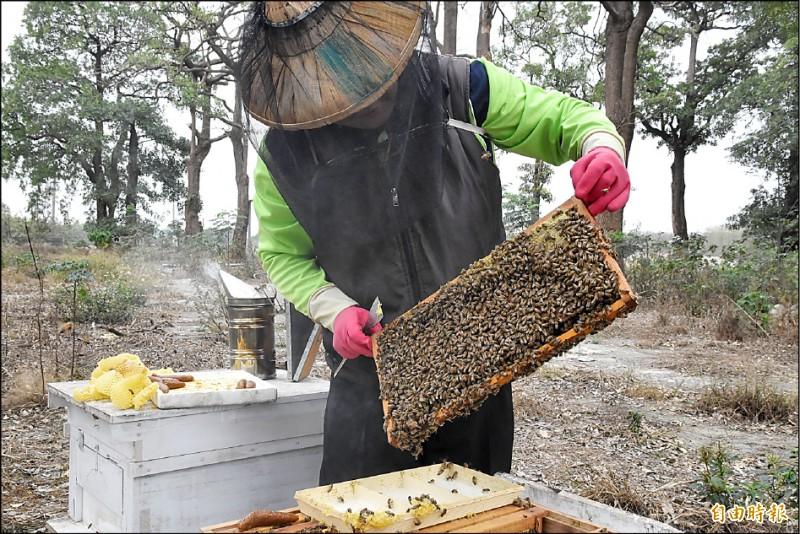 受到暖冬、乾旱影響,龍眼、荔枝不開花,蜜蜂無蜜可採,國產龍眼蜜減產超過九成。 (記者黃淑莉攝)