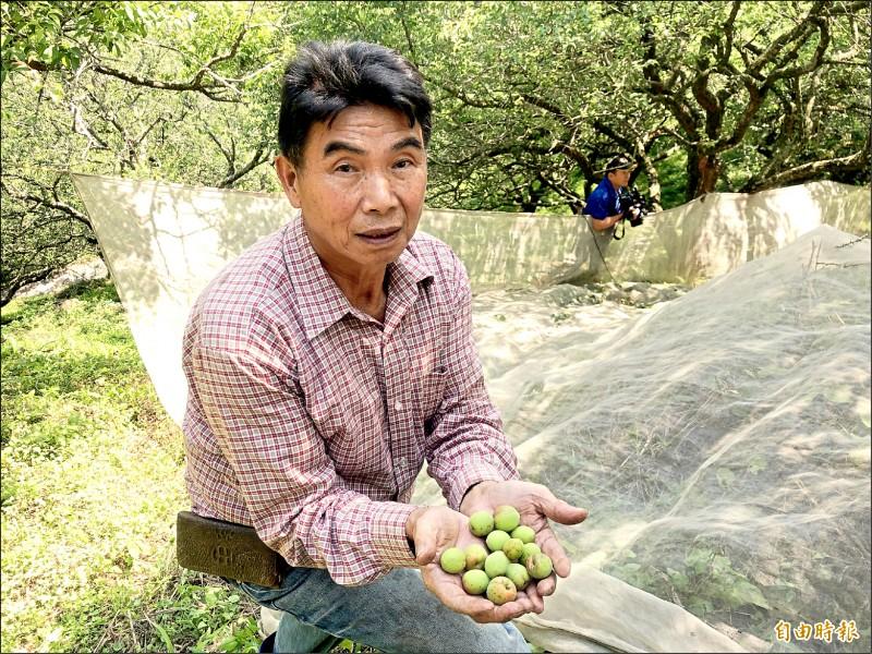 羅姓農民表示今年青梅歉收,是他種梅樹四十年首見。 (記者佟振國攝)