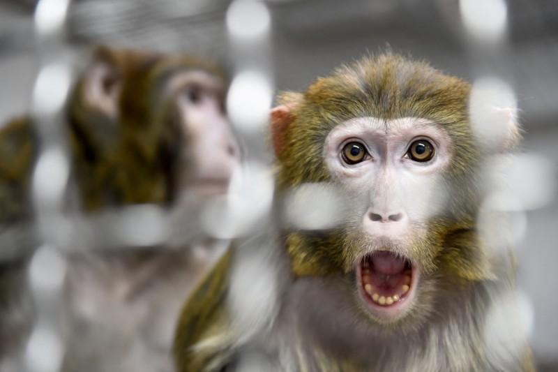 中國科學家將人類基因植入恆河猴大腦內,引發科學倫理的爭議。恆河猴示意圖。(法新社)