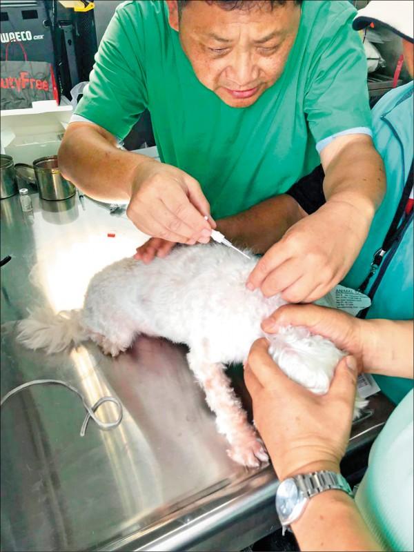 4個月大(含以上)的寵物犬,依據動保法規定必須要植入晶片及完成寵物登記。(圖片提供/鄭祝菁)