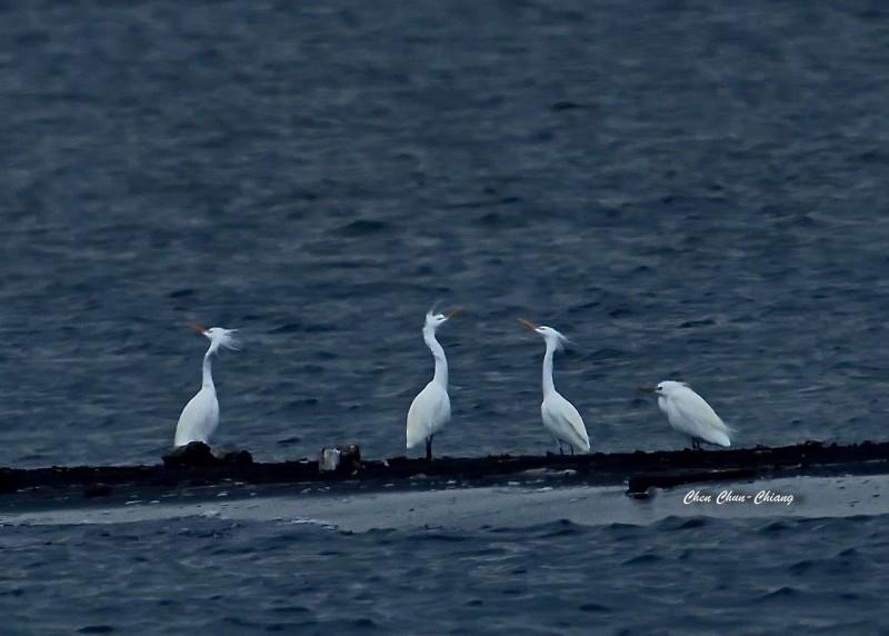4隻珍稀唐白鷺成群抵達高屏溪口,相當罕見。(圖:陳俊強提供)