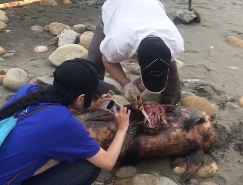 又見死海豚 海巡署岸巡人員就地掩埋