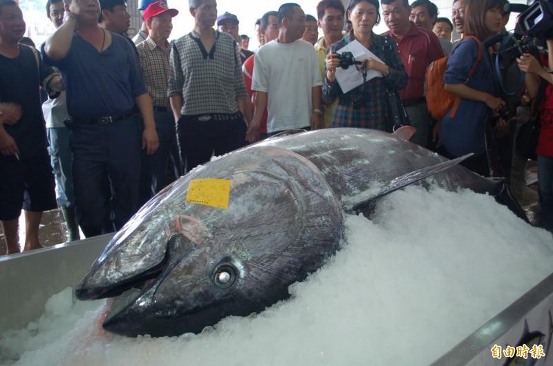 蘇澳籍漁船金協益268號今天下午通報在釣魚台海域捕獲黑鮪,正全速返航。圖為過去蘇澳漁民捕到第一鮪的拍賣畫面。(資料照,記者江志雄攝)