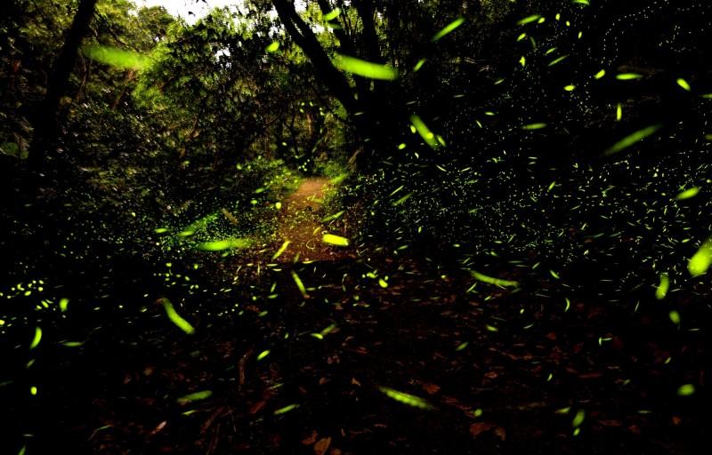 國立台灣海洋大學龍崗生態園區螢火蟲季系列活動,4月30日到5月7日開放賞螢,每晚有3場免費螢火蟲生態解說導覽,16日上午9點開放網路報名。(圖為國立台灣海洋大學提供)