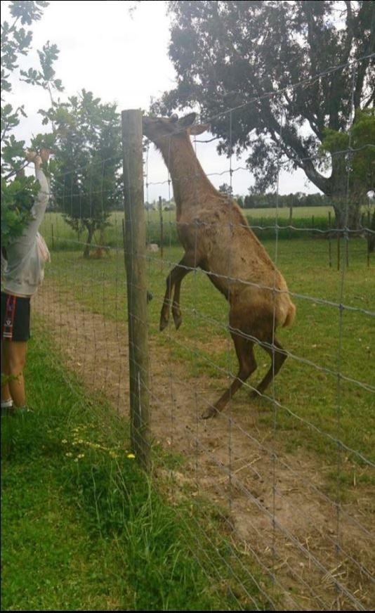據了解,這隻帶有麋鹿血統的混種鹿已經在此牧場中生活了6年之久,突然發起攻擊的原因不明。圖為該牧場實景,非當事鹿。(圖翻攝自臉書)