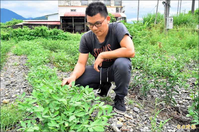 宜蘭縣青年茶農游正福,在自家試驗茶樹、花生的間作方式,效果出乎他意料之外。(記者張議晨攝)