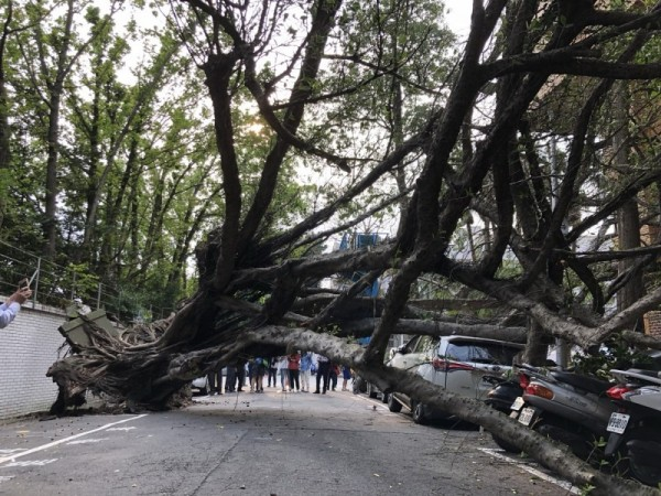 花蓮今天發生大地震,位於北檢外的1棵約10公尺高的路樹,竟連根拔起,停放在路旁停車格的休旅車及多部機車,慘遭壓壞。。(記者錢利忠攝)