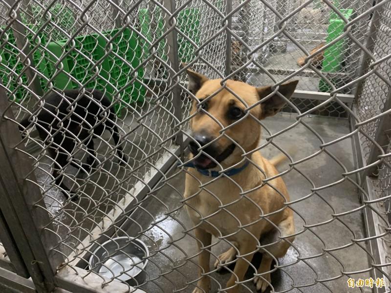 台東縣動物收容中心犬隻目前超量。(記者張存薇攝)