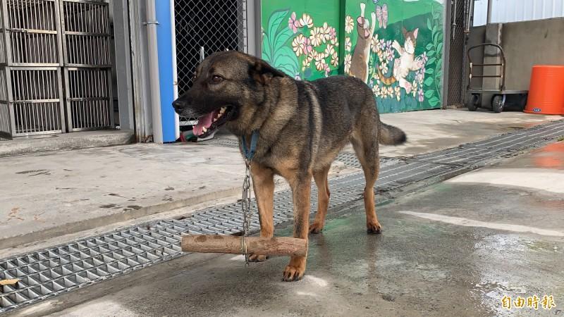 會追人車的狗狗裝上行為矯正器,降低活動量。(記者張存薇攝)