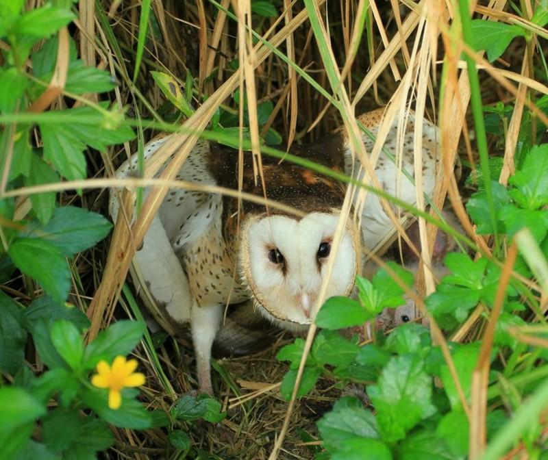 全台不到300隻 拍鳥者騷擾、公佈座標恐害了瀕危草鴞
