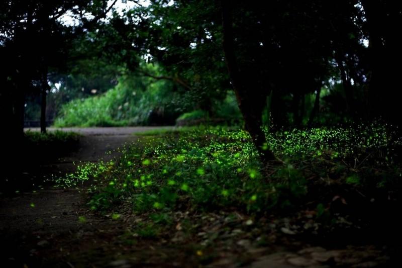和美山賞螢,體會自然樂趣。(台灣自然科技學會提供)