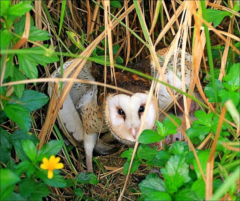 草鴞母鳥在巢位附近發現威脅而呈現威嚇狀。(高雄鳥會草鴞團隊提供)