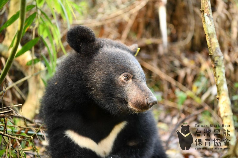 去年與熊媽媽走散的台灣黑熊「南安小熊」,因為無法獨立在森林生存,由台灣黑熊保育協會暫時負責照顧。最近牠已經從5公斤「增胖」到40公斤。(台灣黑熊保育協會提供)