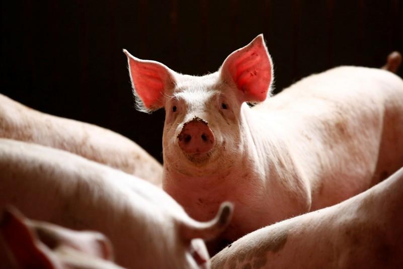 亞洲國家中國、蒙古、越南等接連引爆非洲豬瘟疫情,近來有消息指出,封閉的北韓也傳出非洲豬瘟疫情,對此,南韓表示將會協商共同防疫。豬隻示意圖。(路透)