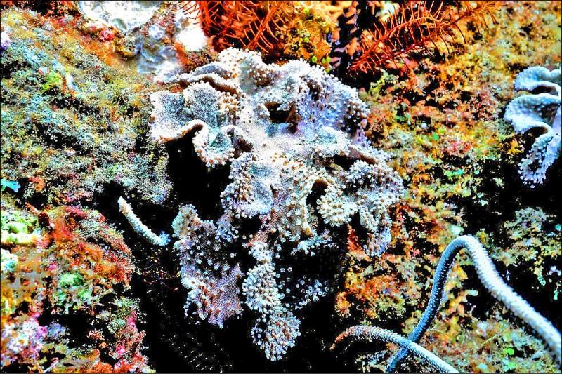 墾丁肉質軟珊瑚。(墾管處提供)