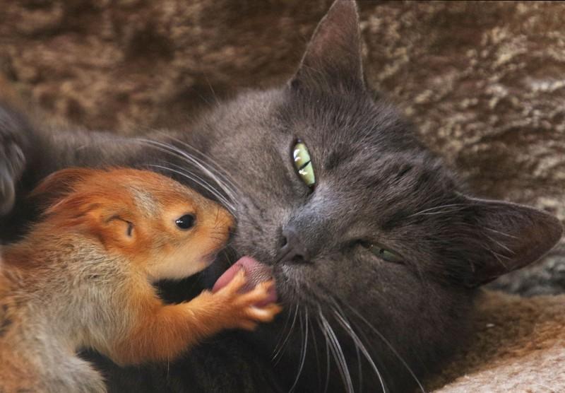 克里米亞貓咪普沙(Pusha),「領養」了4隻失去父母的小松鼠。(路透)