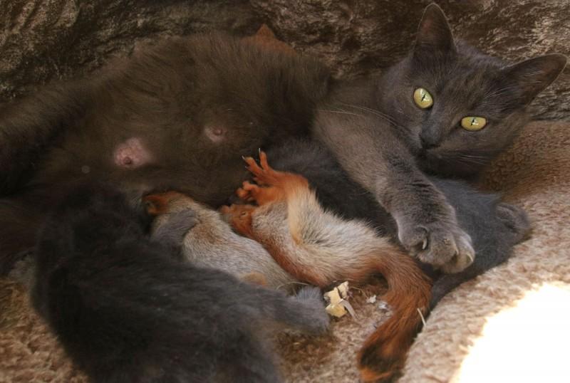 貓咪普沙餵奶,讓小松鼠吃得飽飽的。(路透)